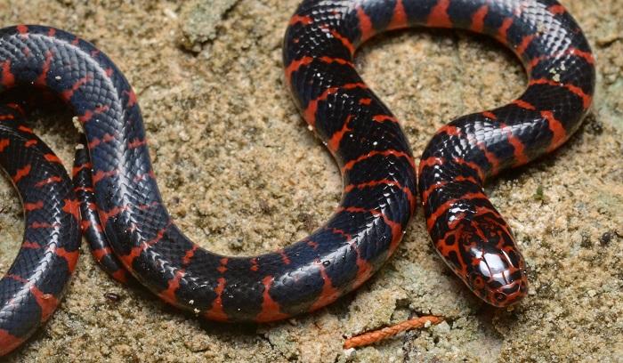 Serpenti velenosi e innocui enciclopedia per ragazzi for Quali sono i rettili
